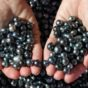 Black Pearls of the Sea of Cortez
